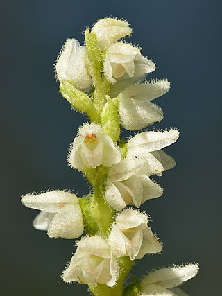 Creeping lady's-tresses