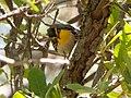 Grace's Warbler (male) Carr Canyon Sierra Vista AZ 2018-05-22 11-05-35 (33981460518).jpg