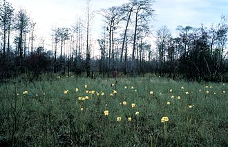 Flatwoods - Flatwood with flowering pitcher plants in foreground