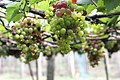 Grape Plant and grapes9.jpg