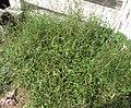 Grass KARUKKATTAN.jpg