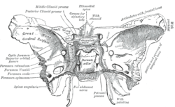 foramen rotundum - wikipedia, Human Body