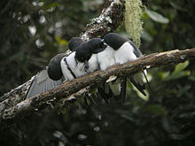 Five small black-and-white birds perch on a branch; three of them are preening themselves, and a fourth is preening the fifth one's head.