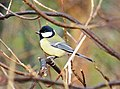 Great tit at Old Moor Wetlands Centre - geograph.org.uk - 1091857.jpg