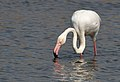 Greater Flamingo, Phoenicopterus roseus at Marievale Nature Reserve, Gauteng, South Africa (9711654900).jpg