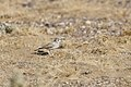 Greater Hoopoe-lark (4803936801).jpg