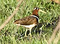 Greater Painted Snipe Rostratula benghalensis Yavatmal by Dr. Raju Kasambe (2).jpg
