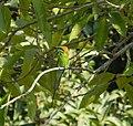 Green Bee- Eater.jpg