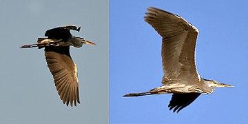 Grey Heron I11.jpg
