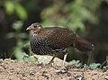 Grey Junglefowl Female (38564927780).jpg