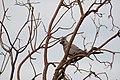 Grey Lourie (6858392049).jpg