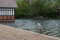 Grey heron at The Serpentine, Hyde Park.jpg