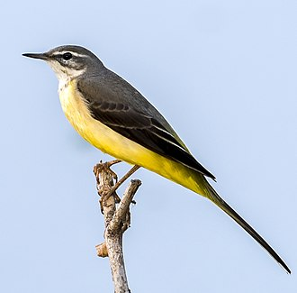 Grey wagtail - Grey wagtail in Hyderabad, India