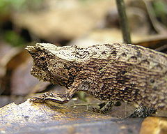 Brookesia sp.