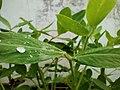 Groundnut(Arachis hypogaea).jpg