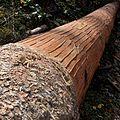 Grume après le passage du sanglier pour le Mont d'Or - Les Pontets DSC0333.jpg