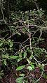 Guapira opposita (Vell.) Reitz (10745786903).jpg