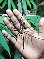 Guide's Hand with Giant Wood Spider - Lawachara National Park - Outside Srimangal - Sylhet Division - Bangladesh (12924678383).jpg