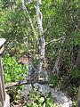 Gumbo Limbo mangroves.JPG