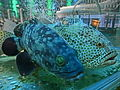 HK Sheung Wan Foo Lum Seafood Restaurant - fish water pool 石斑魚 Grouper Apr-2014 002.JPG