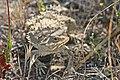 HORNED LIZARD, COAST (phrynosoma coronatum) (4-22-08) sucito ranch, carrizo plain nat mon, slo co, ca -02 (2437366335).jpg