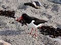 Haematopus ostralegus -Jersey, British Crown Dependency-8 (1).jpg