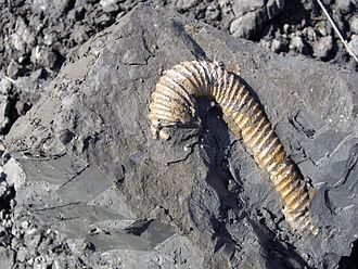 Gault - Hamitidae fossil in Gault Clay on a beach in Folkestone, Kent