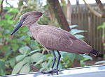 Hammerkop Scopus umbretta Fluff One 2700px.jpg