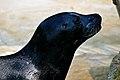 Harbor Seal (phoca vitulina).jpg