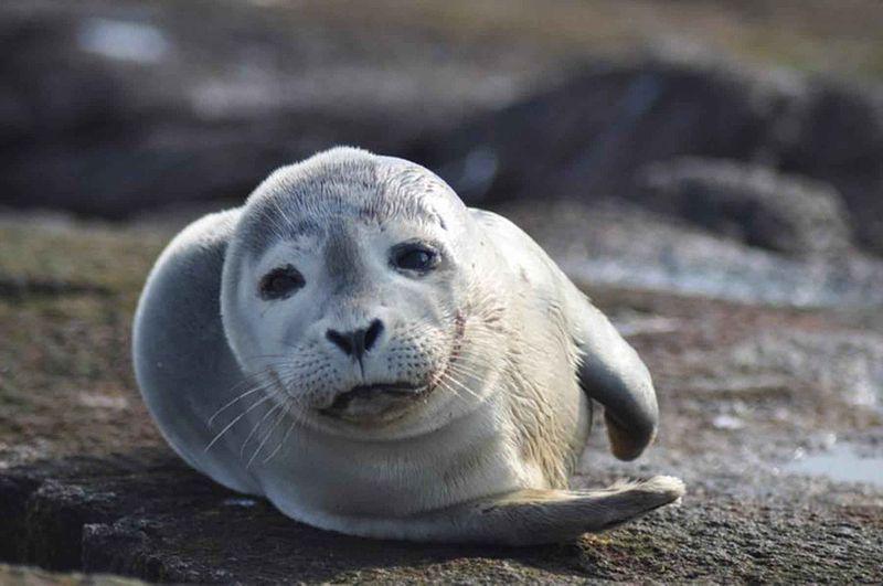 File:Harbor seal mammal phoca vitulina.jpg