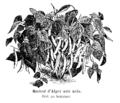 Haricot d'Alger noir nain Vilmorin-Andrieux 1904.png