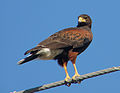 Harris's Hawk on Airline.jpg