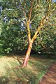 Harris Garden Tree.JPG