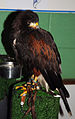 Harris Hawk (3263339953).jpg