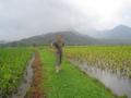 Hawaii Hanalei Taro fields.png