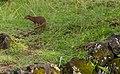 Hawaiian mongoose (32405320118).jpg