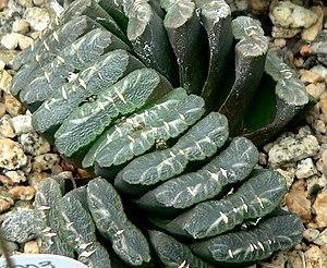 Haworthia truncata - Haworthia truncata
