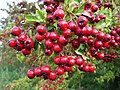 Hawthorn berries - geograph.org.uk - 267389.jpg