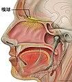 Head olfactory nerve - olfactory bulb ja.jpg