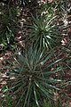 Hechtia podantha (Bromeliaceae) (24734861990).jpg