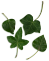 Hedera leaves.png