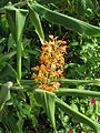 Hedychium coccineum (15083395938).jpg