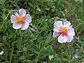 Helianthemum nummularium inflorescence (14).jpg