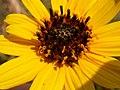 Helianthus pauciflorus (H. rigidus) (3487188467).jpg