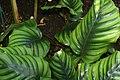 Heliconia episcopalis 0zz.jpg