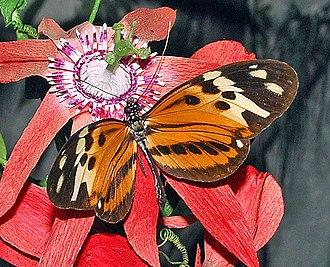 Heliconius numata - H. numata on Passiflora flower. Upperside