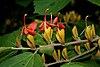 Helicteres isora (East Indian screw tree) W IMG 1250