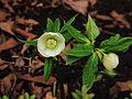 Helleborus orientalis. Bijna witte zaailing 01.JPG