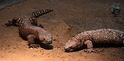 Heloderma horridum pair (Buffalo Zoo).jpg