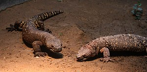 Mexican beaded lizard - A pair of Mexican beaded lizards at the Buffalo Zoo:  The specimen on the right is in the process of shedding.